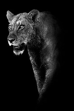 LIONESS PROWESSE